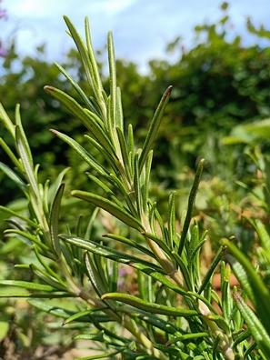 Rozenmarijn - Rosmarinus officinalis  100 gram