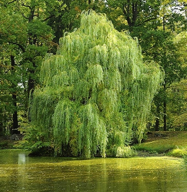 Wilg - Salix alba  100 gram