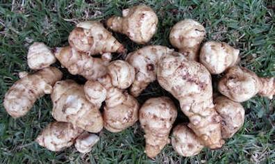 Aardpeer - Helianthus tuberosus  100 gram
