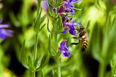 Hyssop - Hyssopus officinalis 100 gram 2,95  100 gram