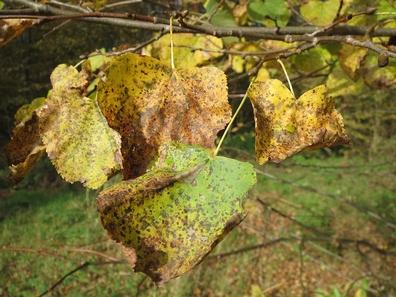 Linde kleinblad - Tilia cordata  100 gram