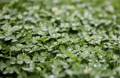 Luzerne / alfalfa - Medicago sativa  100 gram