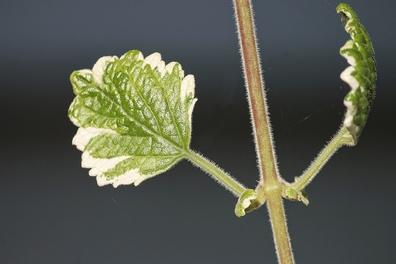 Wierook - Boswellia serrata  100 gram