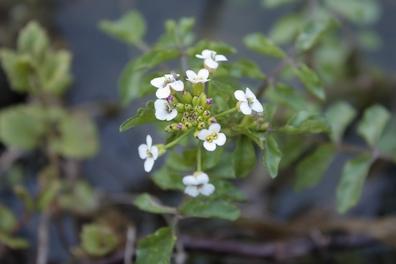 Witte waterkers - Nasturtium offininale  100 gram