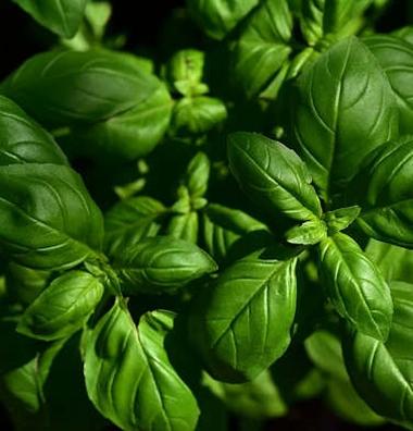 Basilicum - Ocimum basilicum  100 gram