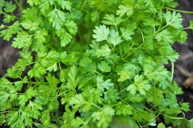 Kervel - Anthriscus cerefolium  100 gram