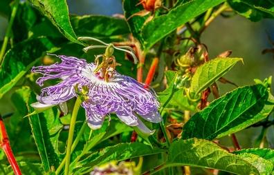 Passiebloem -Passiflora incarnata  100 gram