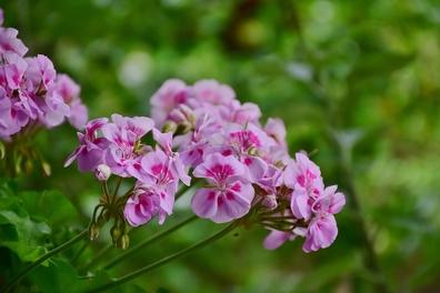 Geranium wortel - Pelargonium sidoides  100 gram