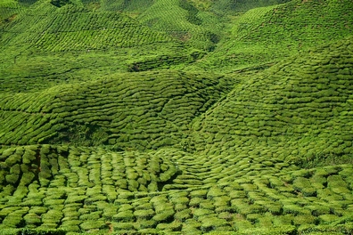 Groene thee - Camellia sinensis  100 gram