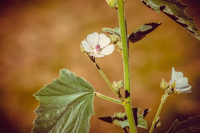 Heemst (echte) - Althaea officinalis  100 gram