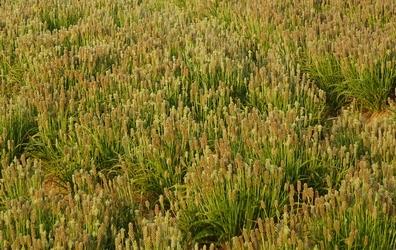 Vlozaad -  Plantago afra  100 gram