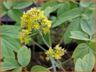 Vrouwenwortel - Caulophyllum thalictroides  100 gram