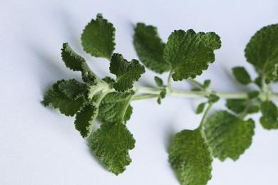 Malrove (andoorn) - Marrubium vulgare  100 gram
