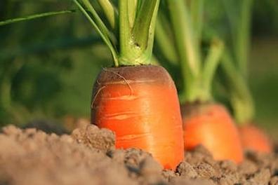 Wortelgranulaat - Daucus carota  100 gram