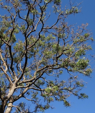 Neemblad - Azadirachta indica  100 gram