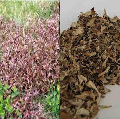 IJslands mos (cetraria islandica)  100 gram