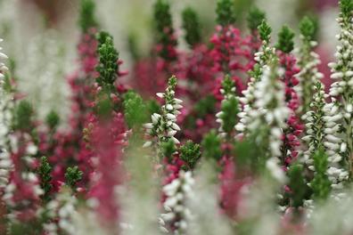 Heidekruid - Calluna vulgaris  100 gram