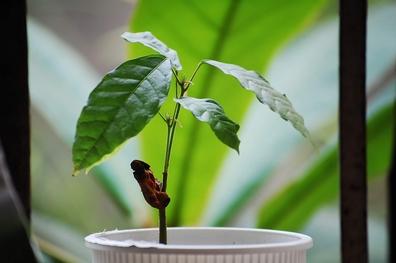 Cacao nibs rauw  100 gram