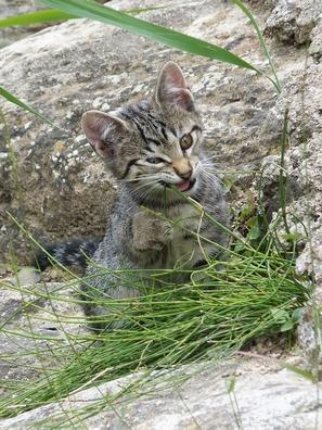 Kattenkruid (nepeta cataria)