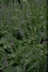 Amerikaans glidkruid - Scutellara laterifolia 100 gram