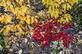 Beredruif - Arctostaphylos uva-ursi 100 gram
