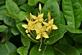 Agrimonie - Agrimonia eupatoria 100 gram