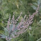 Bijvoet - Artemisia vulgaris 100 gram