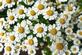 Kamille - Matricaria recutita 100 gram
