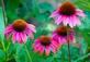 Echinaceae - Rode zonnehoed 100 gram