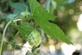 Hop - Humulus lupulus 100 gram
