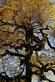 Berken blad - Betula pendula 100 gram
