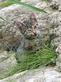 Kattenkruid (nepeta cataria)   AKTIE