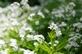 Lieve vrouwen bedstro - Galium odoratum 100 gram